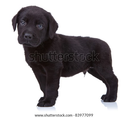 curious black labrador retriever puppy standing on a white background and looking at the camera - stock photo