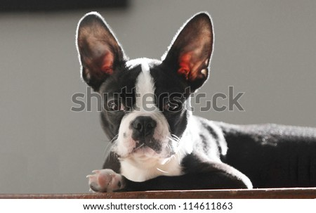 cute boston terrier puppy sitting at the top of the stairs - stock photo