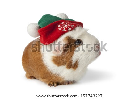 Cute guinea pig with christmas hat on white background - stock photo