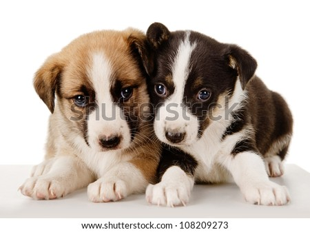 Cute  Puppies Lie Together. isolated on white background - stock photo