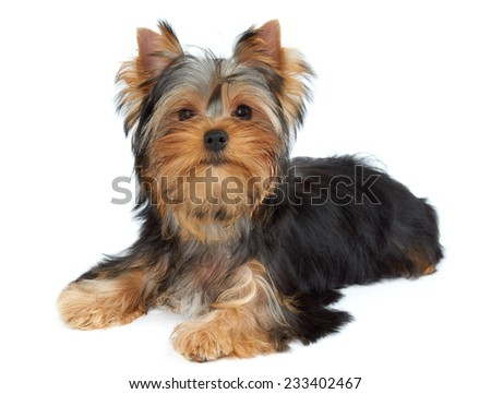 Cute puppy lies on white background. Yorkshire Terrier - stock photo
