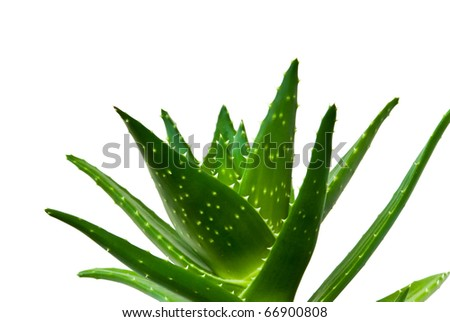 cutout of an aloe vera isolated on a white background - stock photo