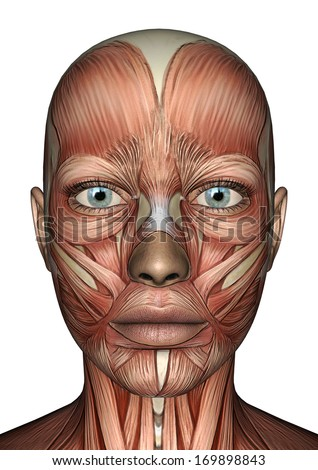 The Muscular System Face 70