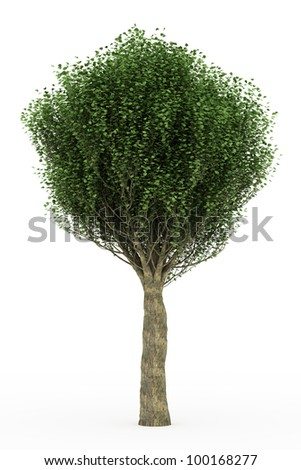 3d  English elm isolated over white - stock photo
