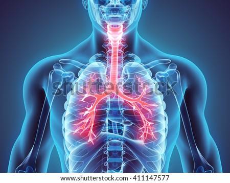 3D illustration of Larynx Trachea Bronchi Part of Respiratory System. - stock photo
