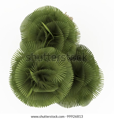 3d  Petticoat Palm isolated over white - stock photo