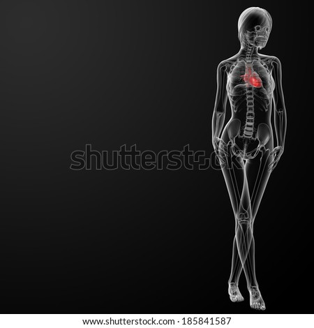 3d render female anatomy - heart - front view - stock photo
