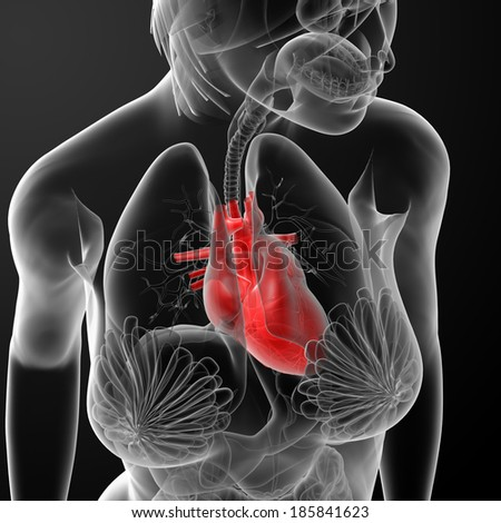 3d render female anatomy - heart - top view - stock photo
