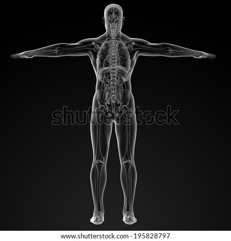 3d render illustration of the human anatomy - back view - stock photo
