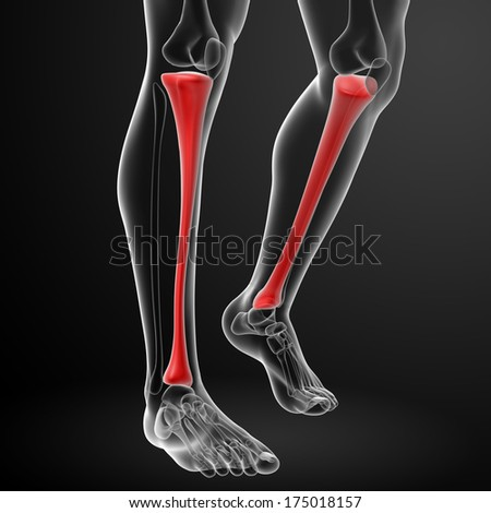 3d render illustration tibia - front view - stock photo