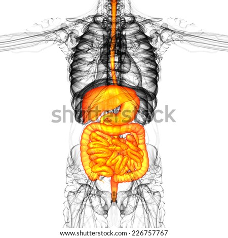 3d render medical illustration of the human digestive system - front view - stock photo