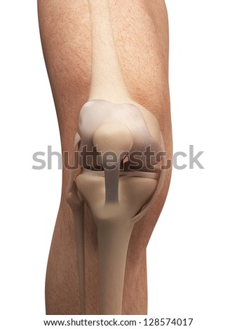 3d rendered illustration - anatomy of the knee - stock photo