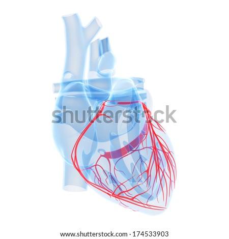 3d rendered illustration - coronary heart vessels - stock photo