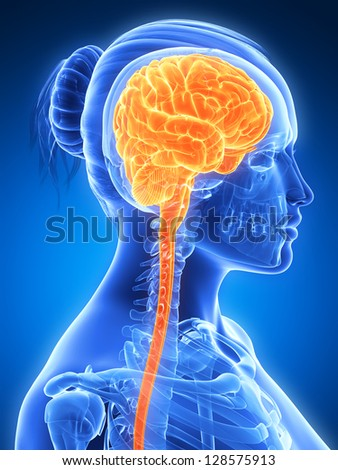 3d rendered illustration - female brain - stock photo