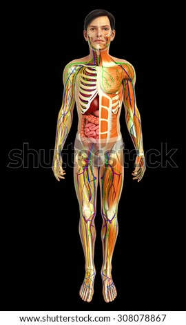 3d rendered illustration of male digestive system - stock photo