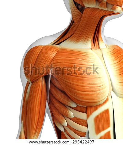 3d rendered illustration of muscles anatomy - stock photo