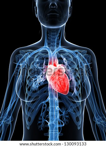 3d rendered illustration of the female heart - stock photo