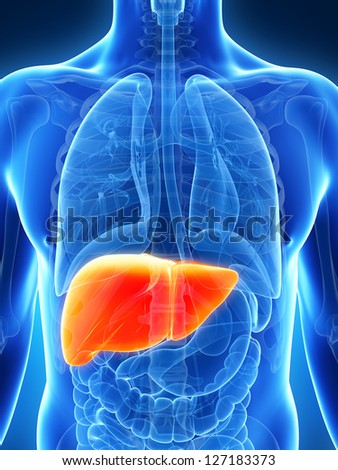 3d rendered illustration of the male liver - stock photo