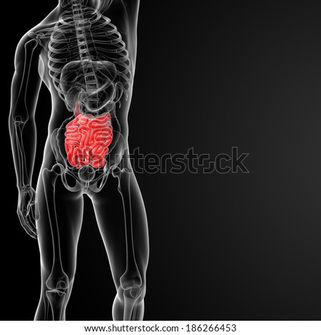 3d rendered illustration of the male small intestine - front view - stock photo