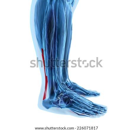 3d rendering of human achilles tendon - stock photo