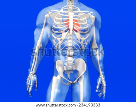 3D visualization of the human anatomy. The Heart in a semi-transparent adult male body. - stock photo