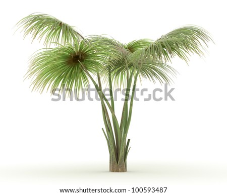 3d Yarey Palm isolated over white - stock photo