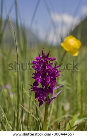 Dactylorhiza purpurella on a bog meadow in the Glarus Alps - stock photo