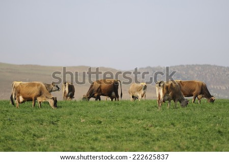 Dairy Cattle. Jersey/Guernsey dairy cattle graze on spring pasture in the Drakensberg foothills, Underberg, Kwazulu Natal, South Africa. The district is a major producer of dairy products - stock photo