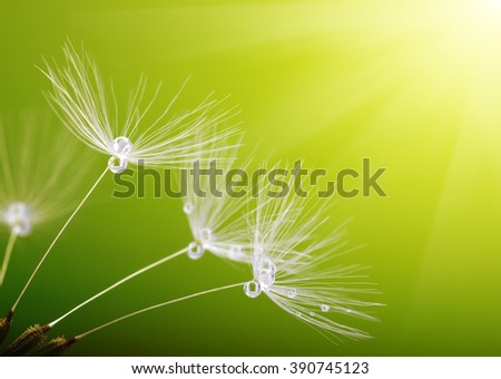 dandelion flower on blurred background - stock photo