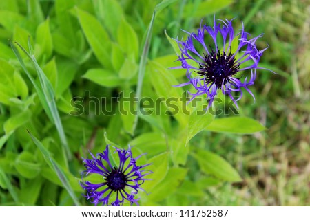 2 delicate blue flowers are photographed on a vivid green background./delicate blue flowers - stock photo