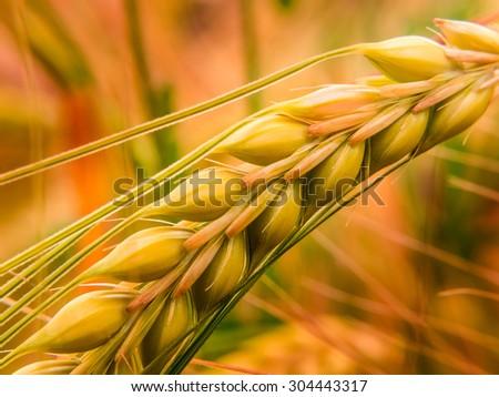 Detail of golden wheat II - stock photo
