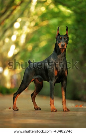 Doberman look at me - stock photo