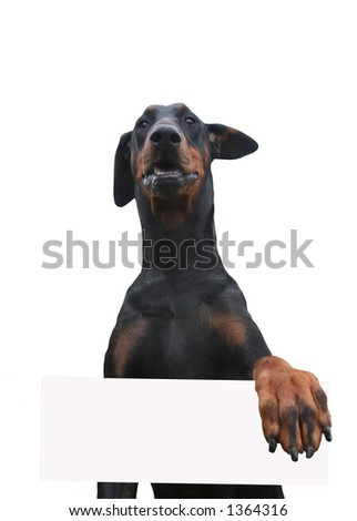 Dobermann standing upright with her front paw holding a blank placard, one ear flying in the wind - stock photo