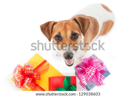 Dog Jack Russel terrier is seating near present boxes on white background. Take my gift. Looking upward - stock photo