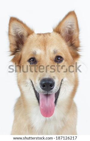 Dog looking directly at camera with happy face.  - stock photo