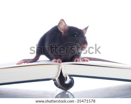 domestic rat sitting on book - stock photo