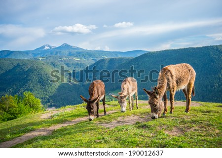 3 donkeys in field with Mountain background - stock photo