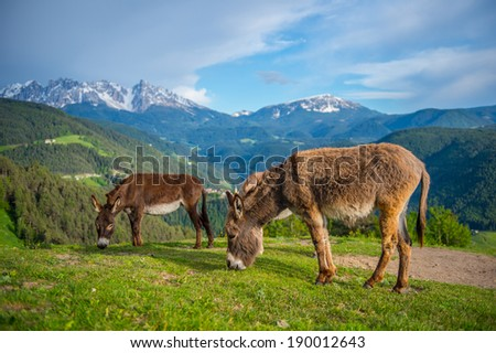 2 donkeys in field with Mountain background - stock photo