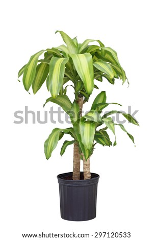 Dracaena fragrans corn plant in the pot isolated on white background - stock photo