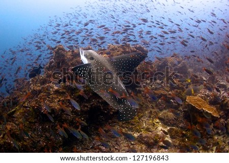 Eagle Ray swimming in the waters of Coco Island in Costa Rica - stock photo
