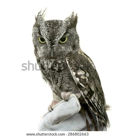 Eastern Screech Owl are found wherever trees are, and they're even willing to nest in backyard nest boxes. Seen here is a mostly grey variety isolated on a white background.  - stock photo