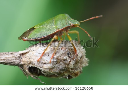 ?edbug sits on a branch.  Insecta \ Hemiptera \ Pentatomidae  \ Palomena prasina - stock photo