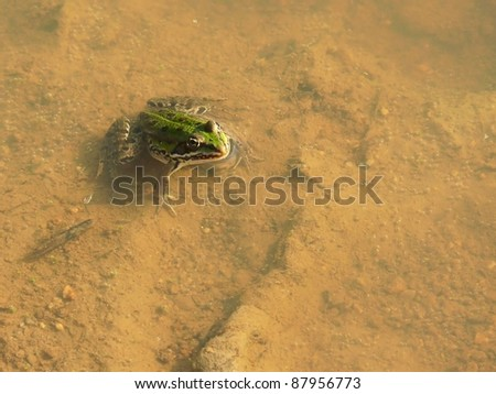 Edible  frog, Pelophylax esculentus - stock photo