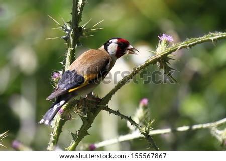 European Goldfinch Carduelis carduelis - stock photo