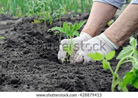 farmer planting a tomato seedling in the vegetable garden - stock photo