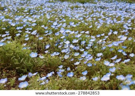 field of blue Nemophila - stock photo