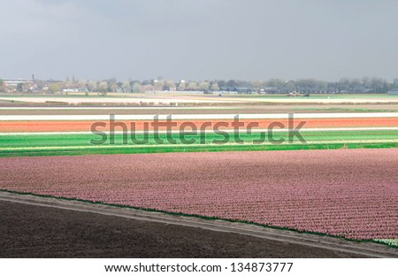 Fields of tulips and hyacinths in the Netherlands. - stock photo