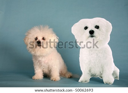 """Fifi the Bichon Frise"" sits next to a live size photo ""Cardbard Cut Out"" of herself on a blue background - stock photo"