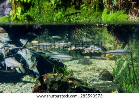 Fish swimming in the water ,aquarium - stock photo