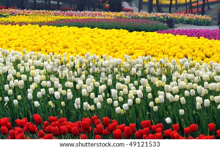Flower bed of beautiful  tulips, during the season of spring - stock photo
